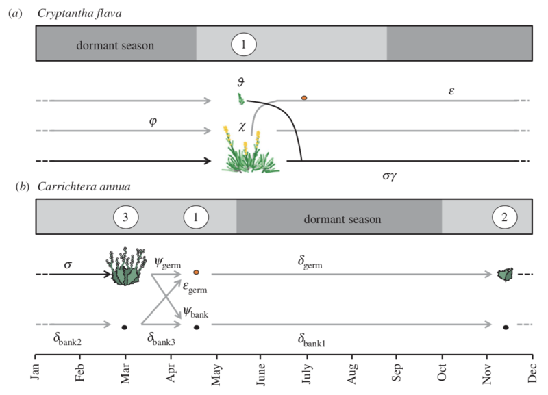 life cycle of cryptantha flava a and carrichtera annua b used to study effects of climate change in desert plants salguero gomez et al ptrsb