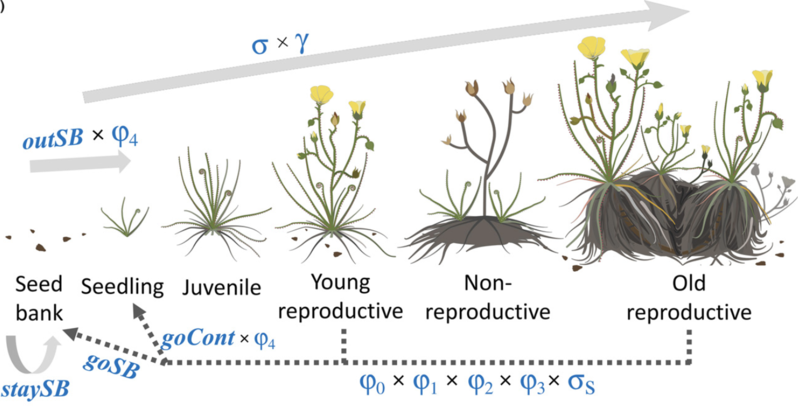 lifecycle of the endemic fire dependent drosophyllum lusitanicum paniw et al 2017 j appl ecol